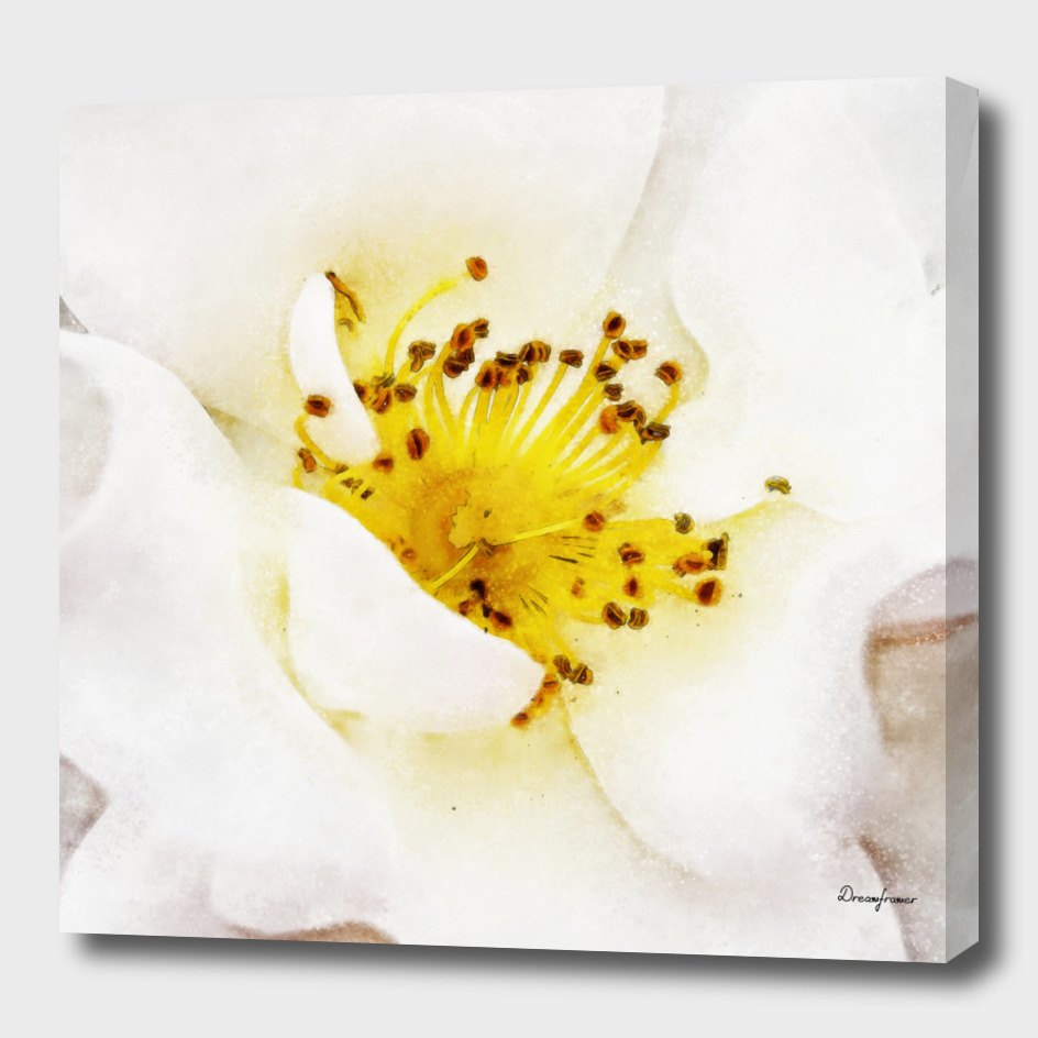 Closeup White Rose Fine Art