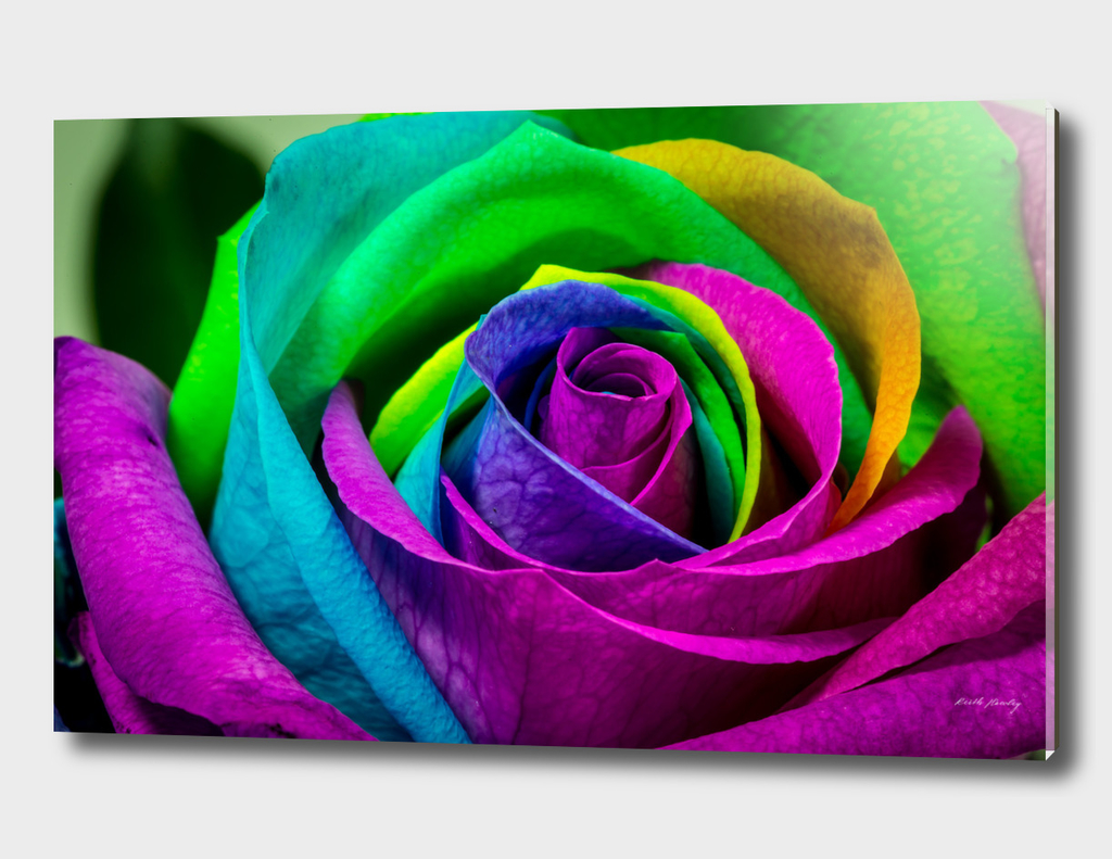 Multi-Coloured Rose