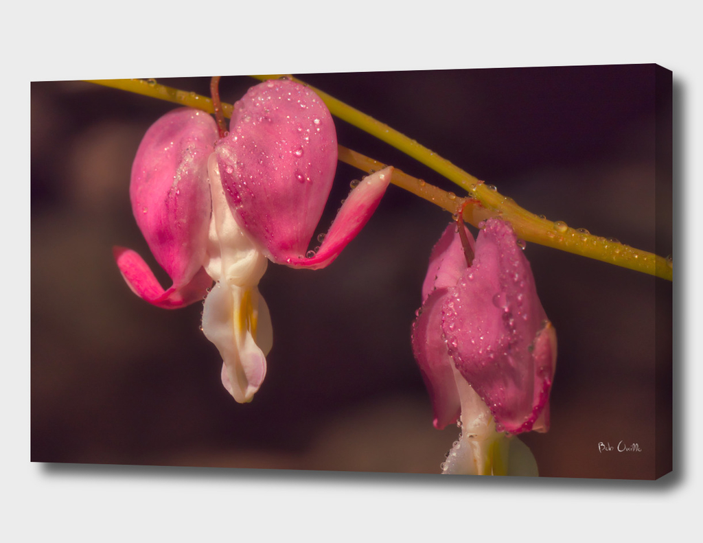 Bleeding Hearts And Water Drops