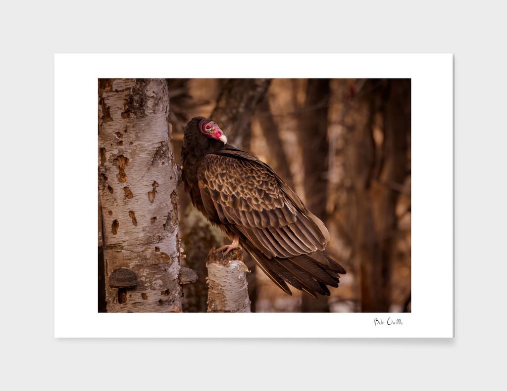 Turkey Vulture in a old birch