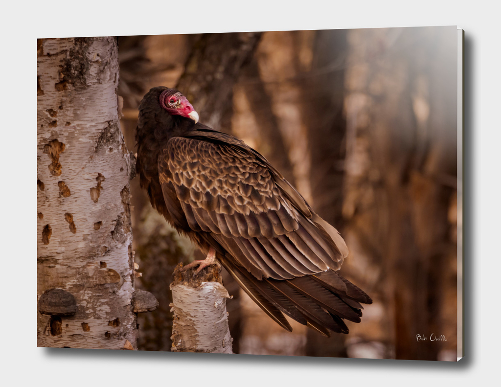 Turkey Vulture in a old birch