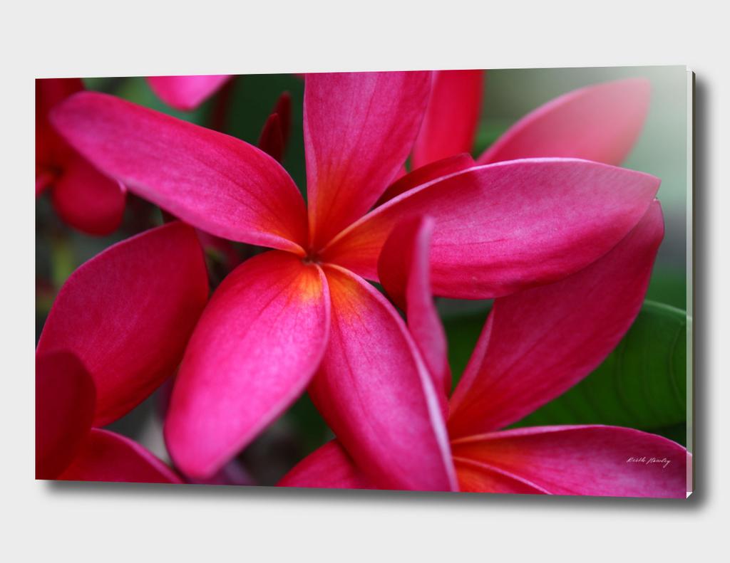 Hot Pink Frangipani
