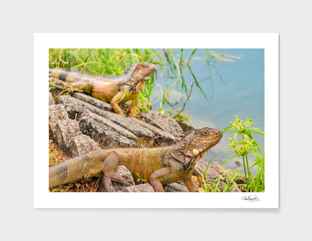 Iguanas at Shore of River in Guayaqui, Ecuador