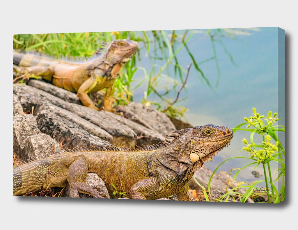 Iguanas at Shore of River in Guayaqui, Ecuador