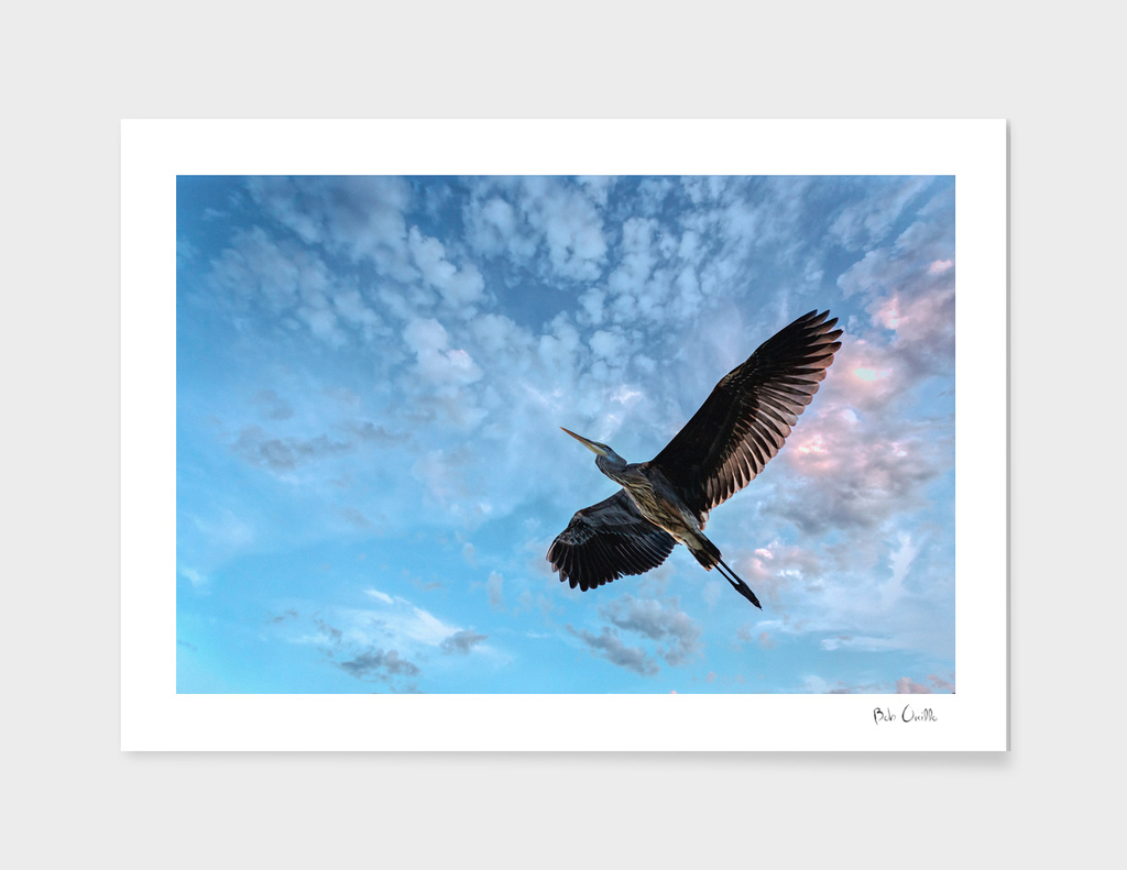 Great Blue Heron Soaring