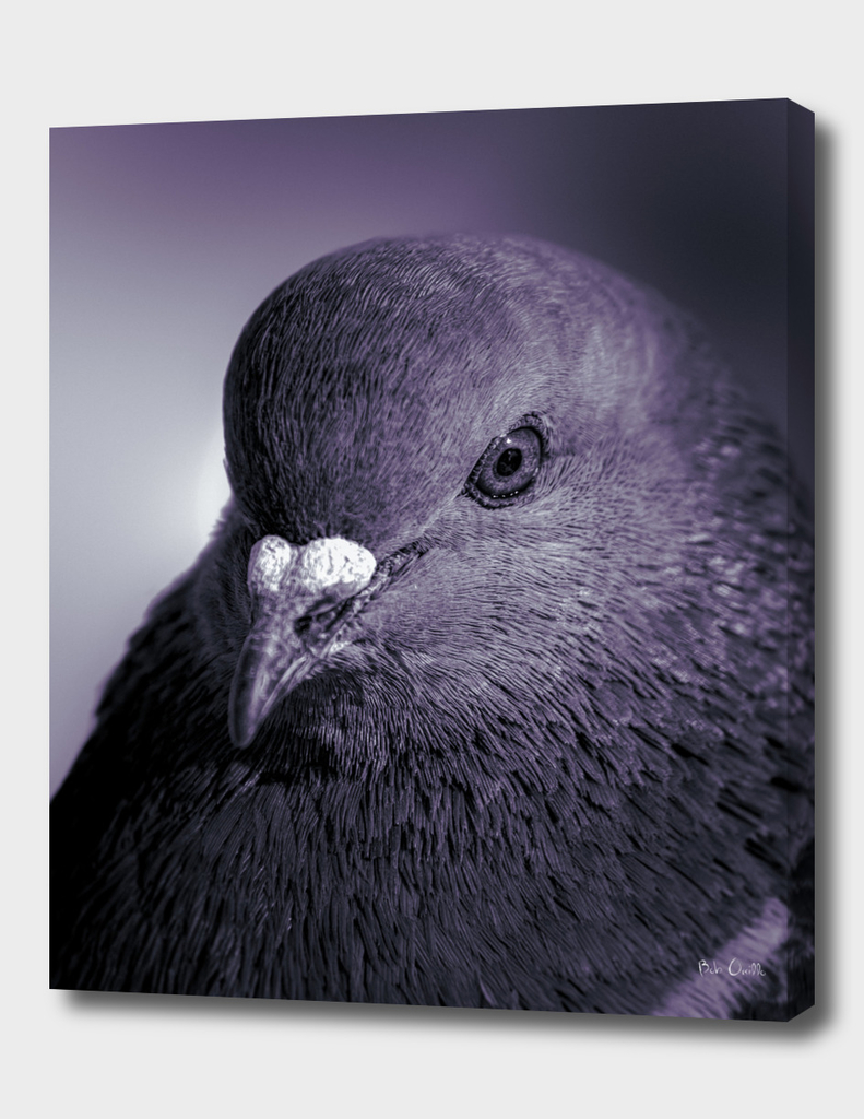 City Bird Pigeon