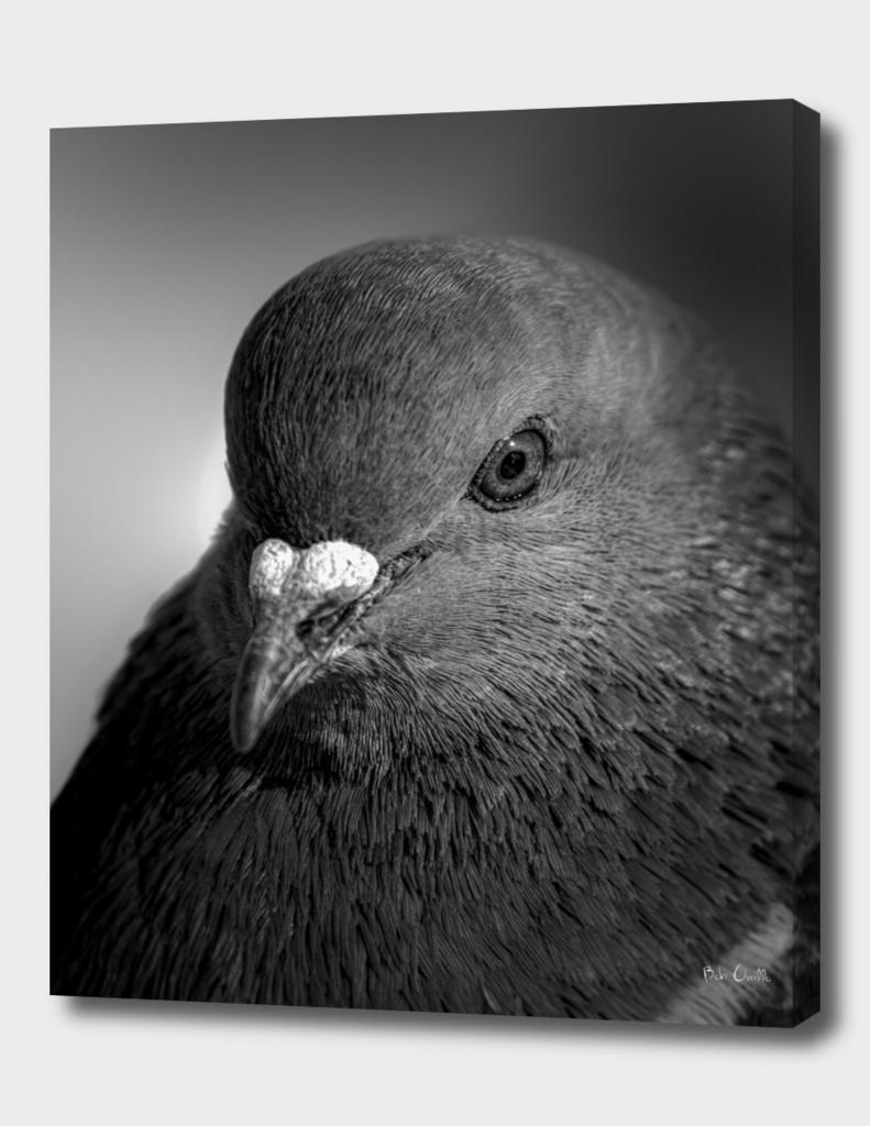 City Bird Pigeon Black and White