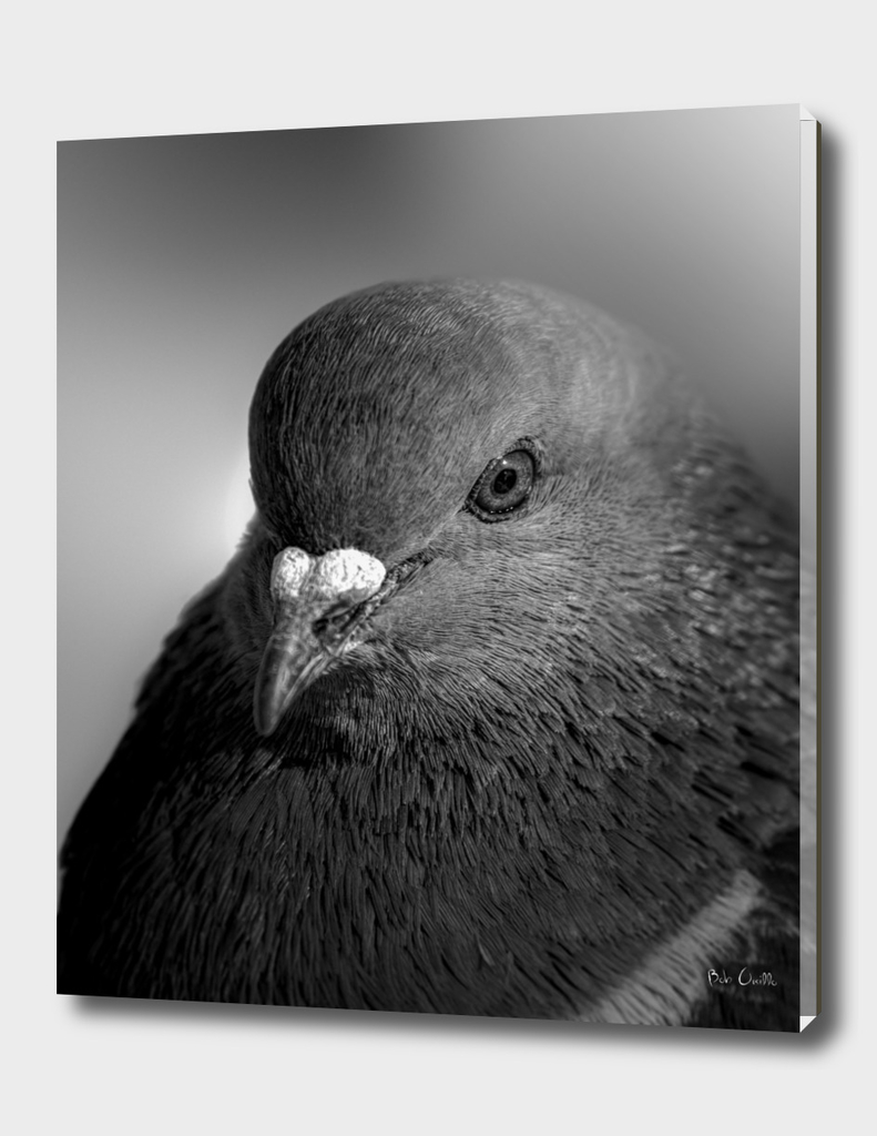 City Bird Pigeon Black and White