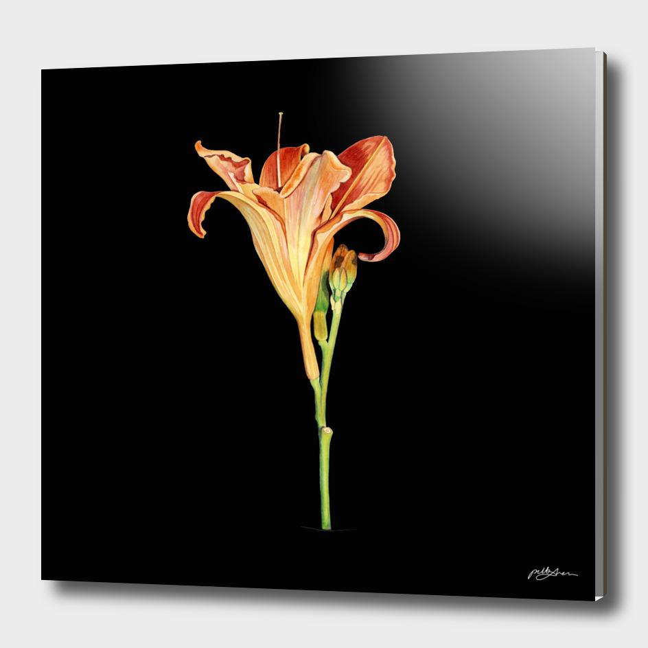 Watercolour Daylily