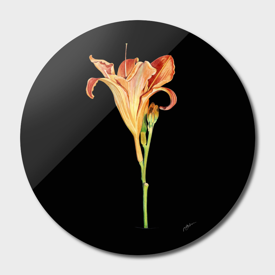 Watercolour Daylily