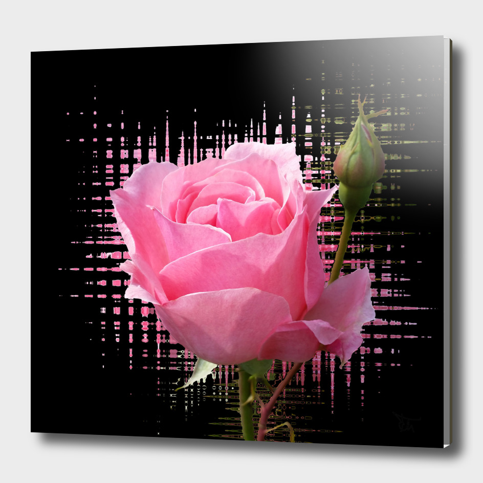 pink rose splash