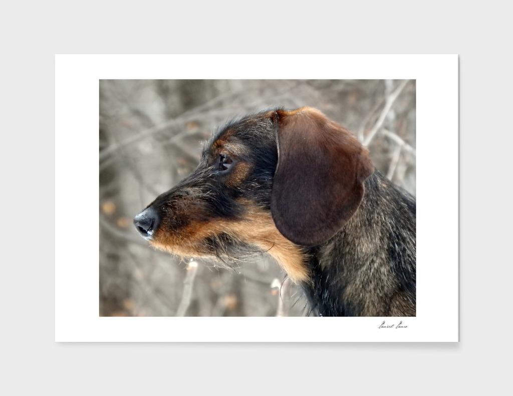 Dog, head rough-coated Dachshund