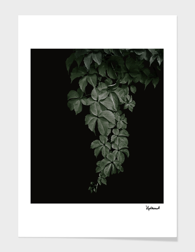 Hanging Leaves On Black