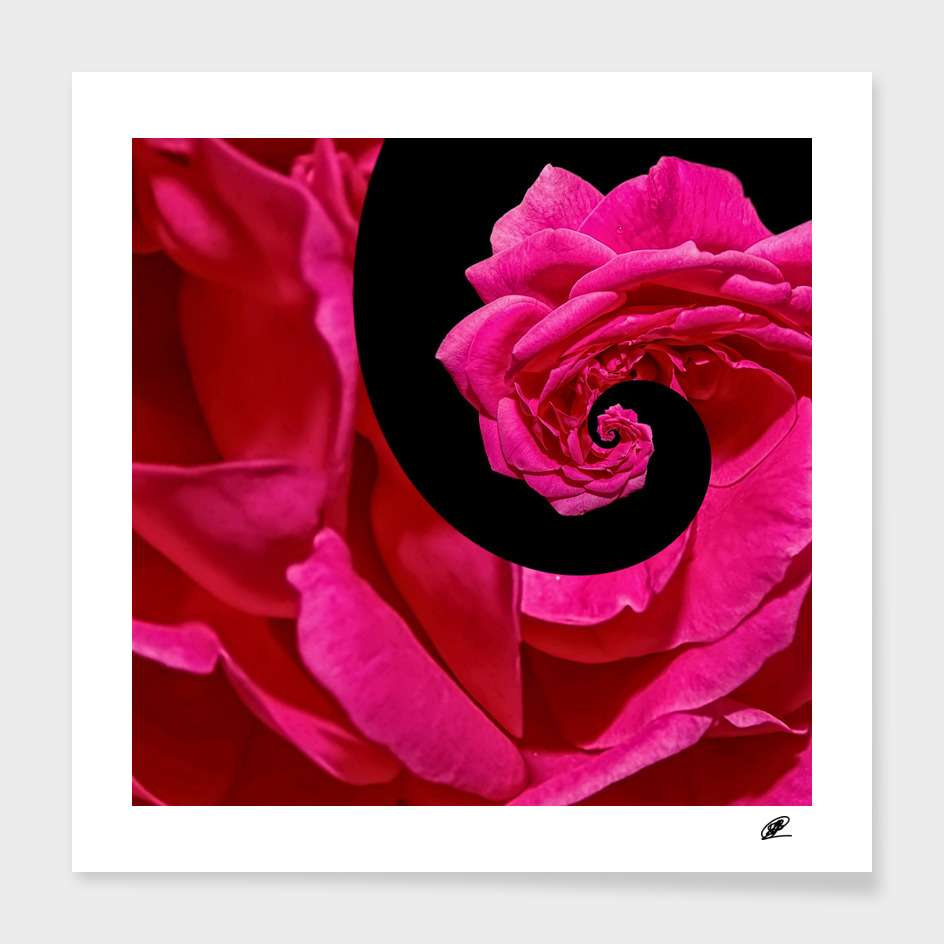 Life cycle - rose flover