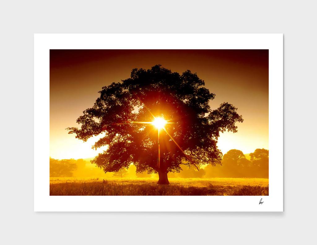 Oak Tree Golden Field