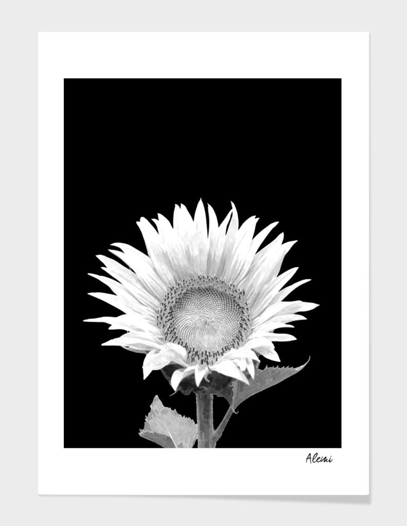 White Sunflower Black Background