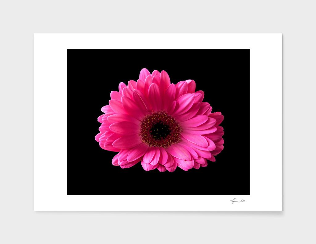 Fuschia Pink Gerbera