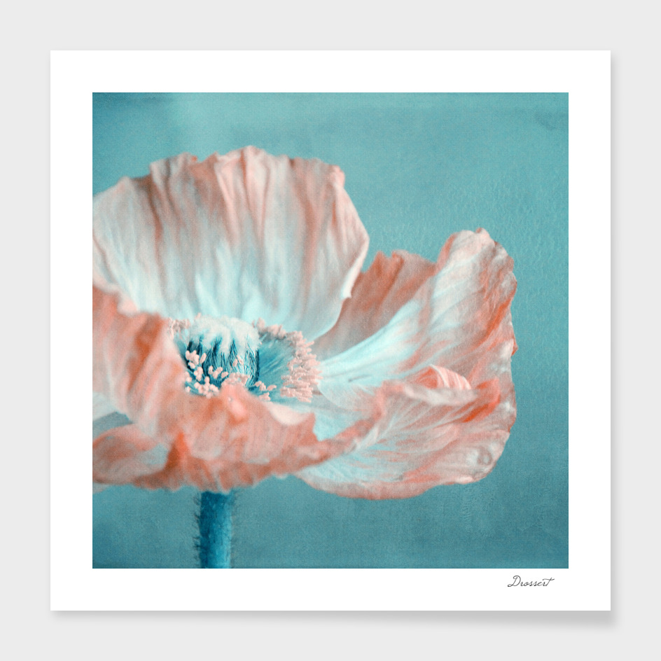 apricot poppy