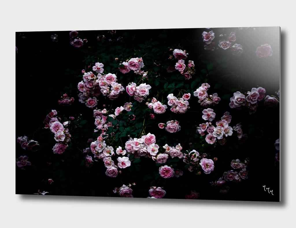 rose in the dark 01