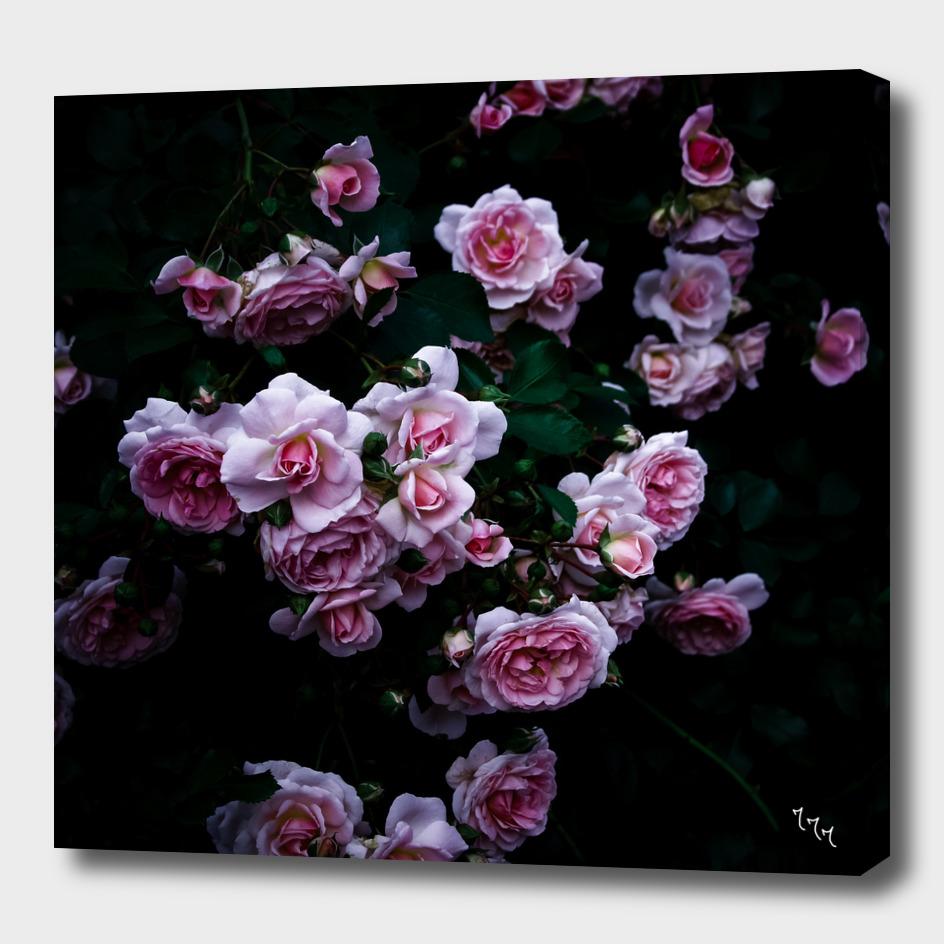 rose in the dark 02