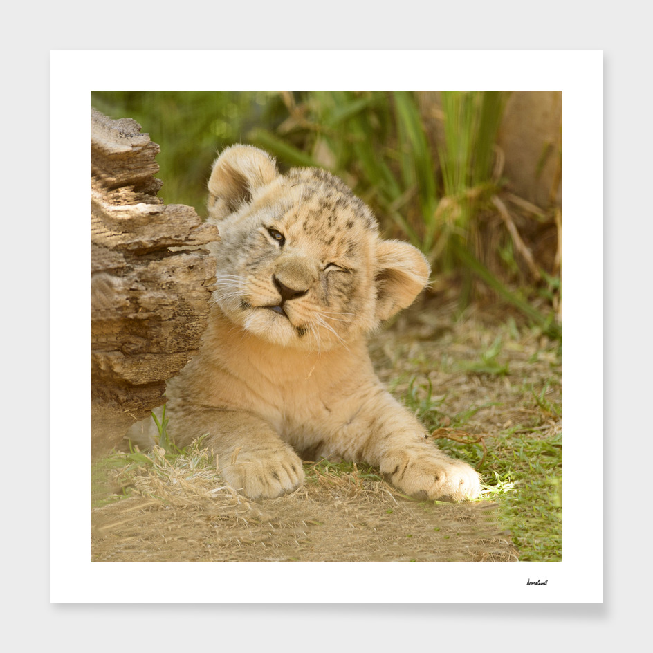 White Lion Cub In Wooded Area