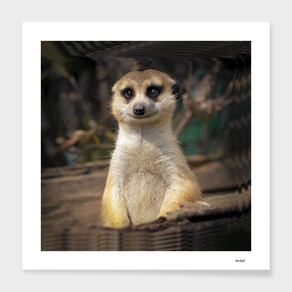 Meerkat In Woodland