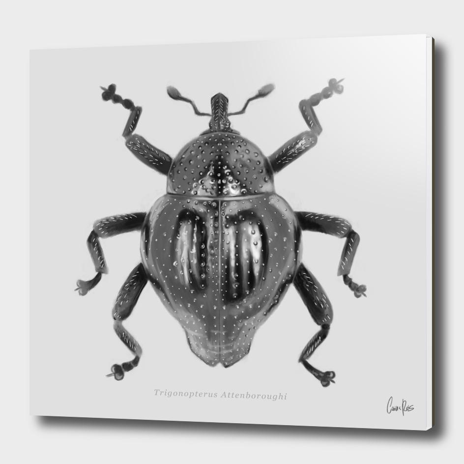 Trigonopterus Attenboroughi
