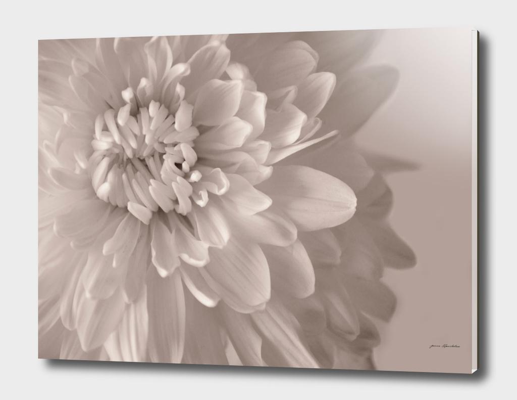 Chrysanthemum  Sepia Close-up