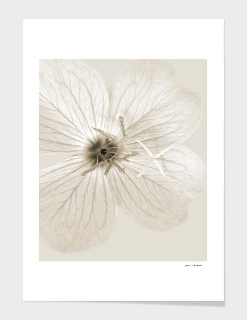 Sepia Primrose Close-up