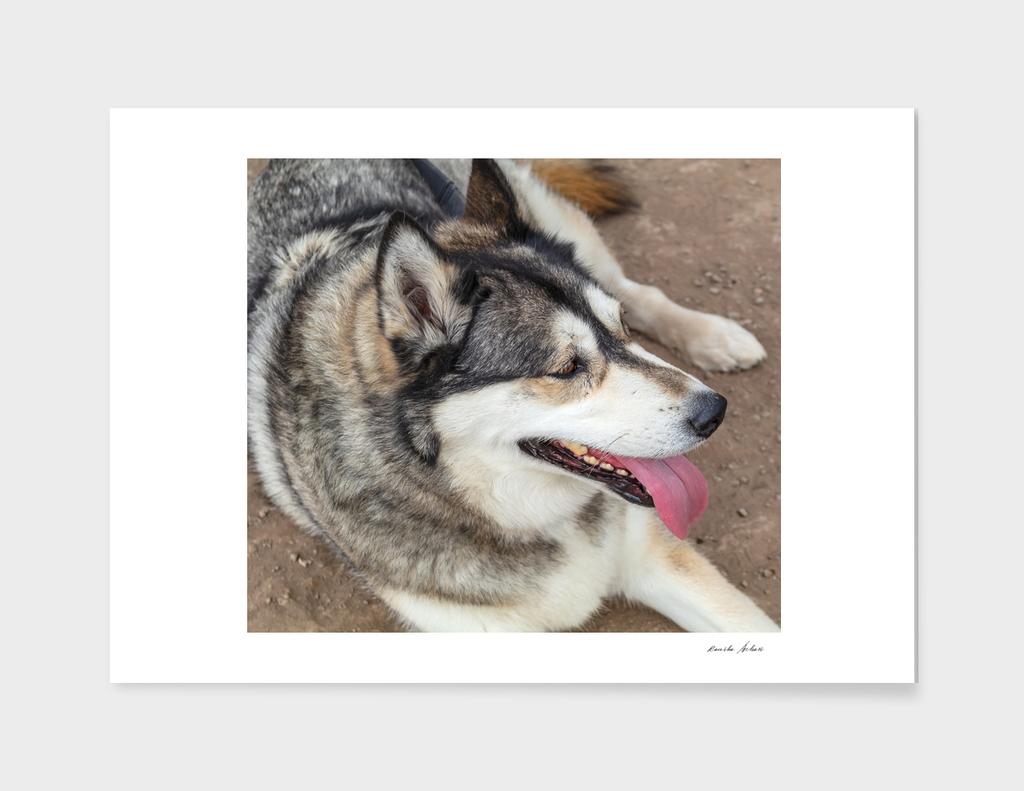Big Alaskan Husky gray white dog sitting on ground