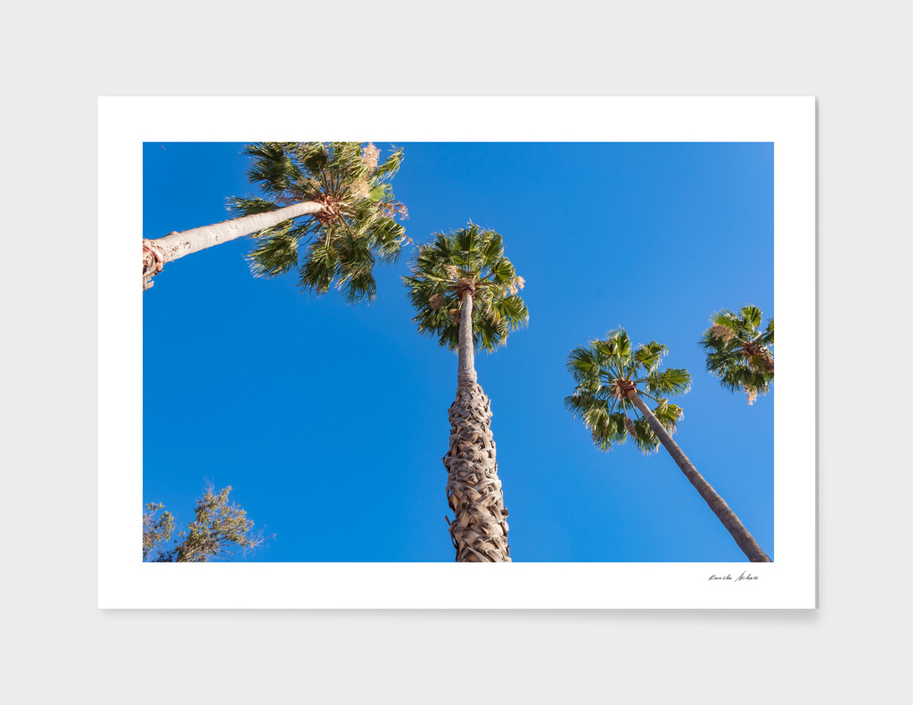 Palm trees with blue sky in sunny afternoon
