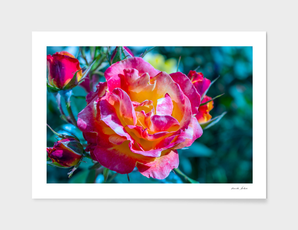 Beautiful colorful Pink Rose flower blossoming