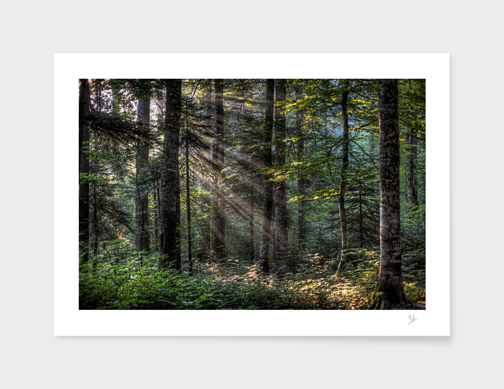 The Light in a Forest
