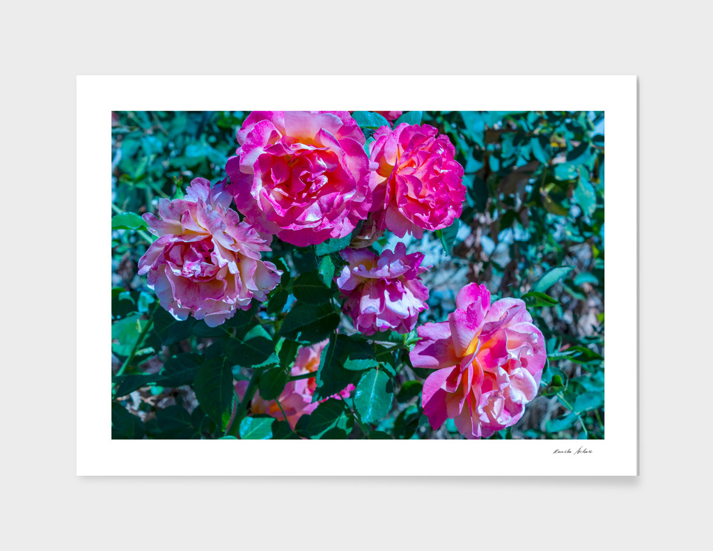 Bush of beautiful colorful pink red roses blossoming