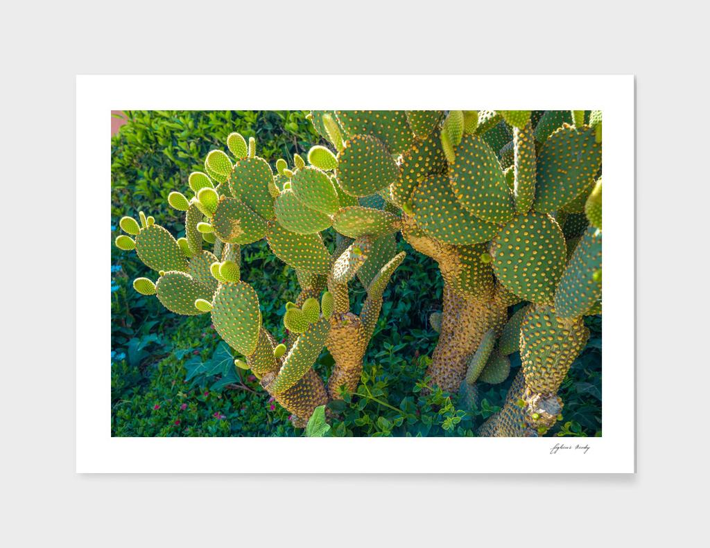 Blind Prickly Pear Cactus or Opuntia rufida at home garden.