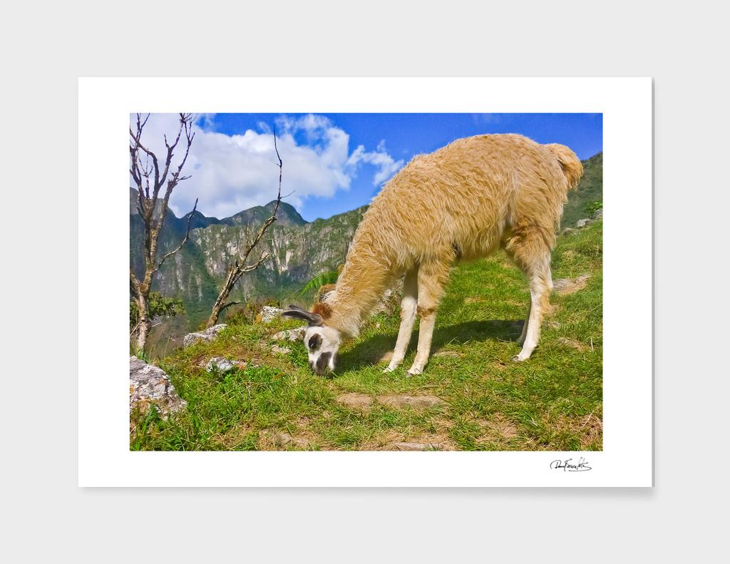 Andean Llama, Macchu Picchu - Peru