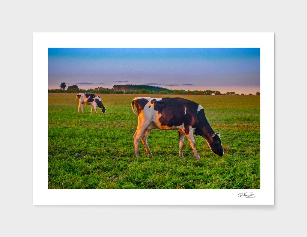 Cows Eating at Rural Environment, San Jose - Uruguay