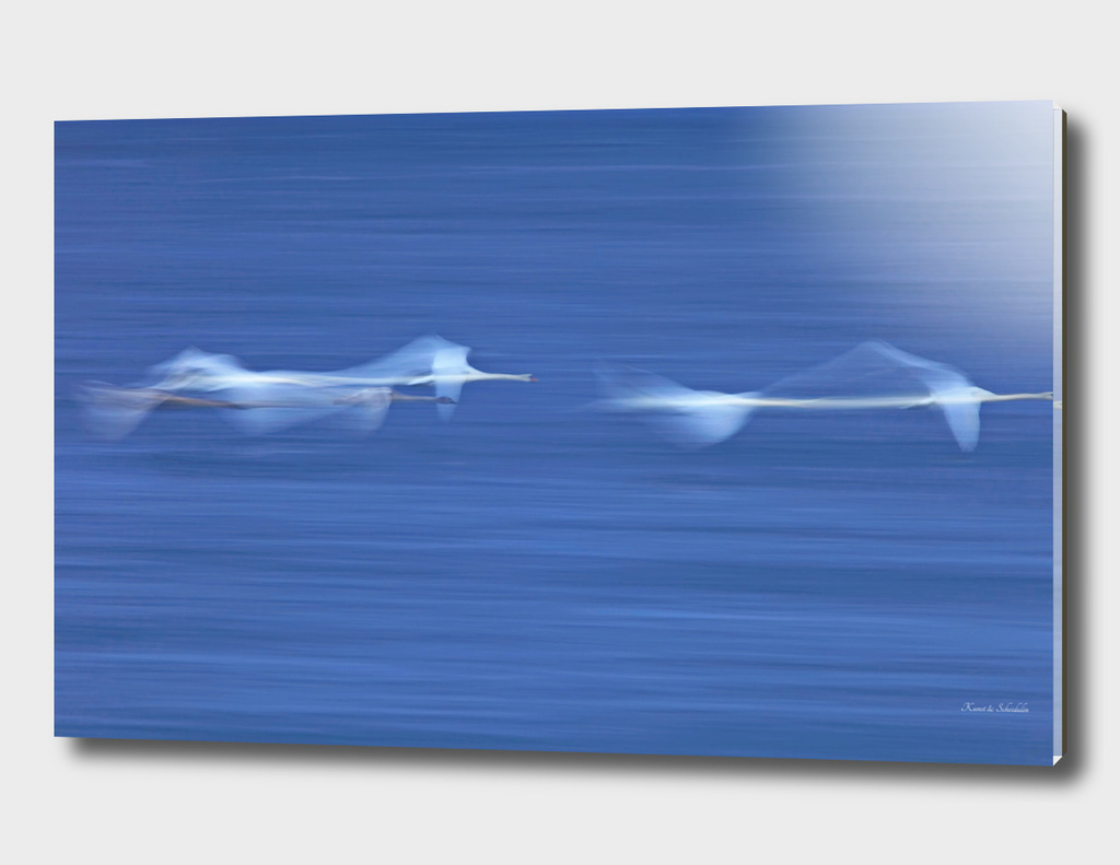 Whooper swans flying low over a lake