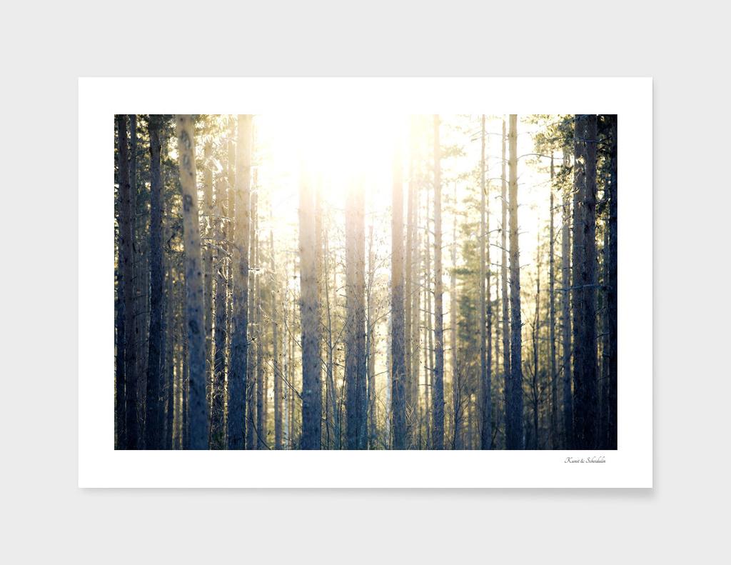 Sun illuminating fir trees