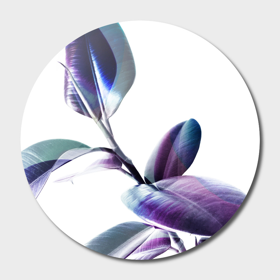 Minimal Rubber foliage in Blue and Purple on White