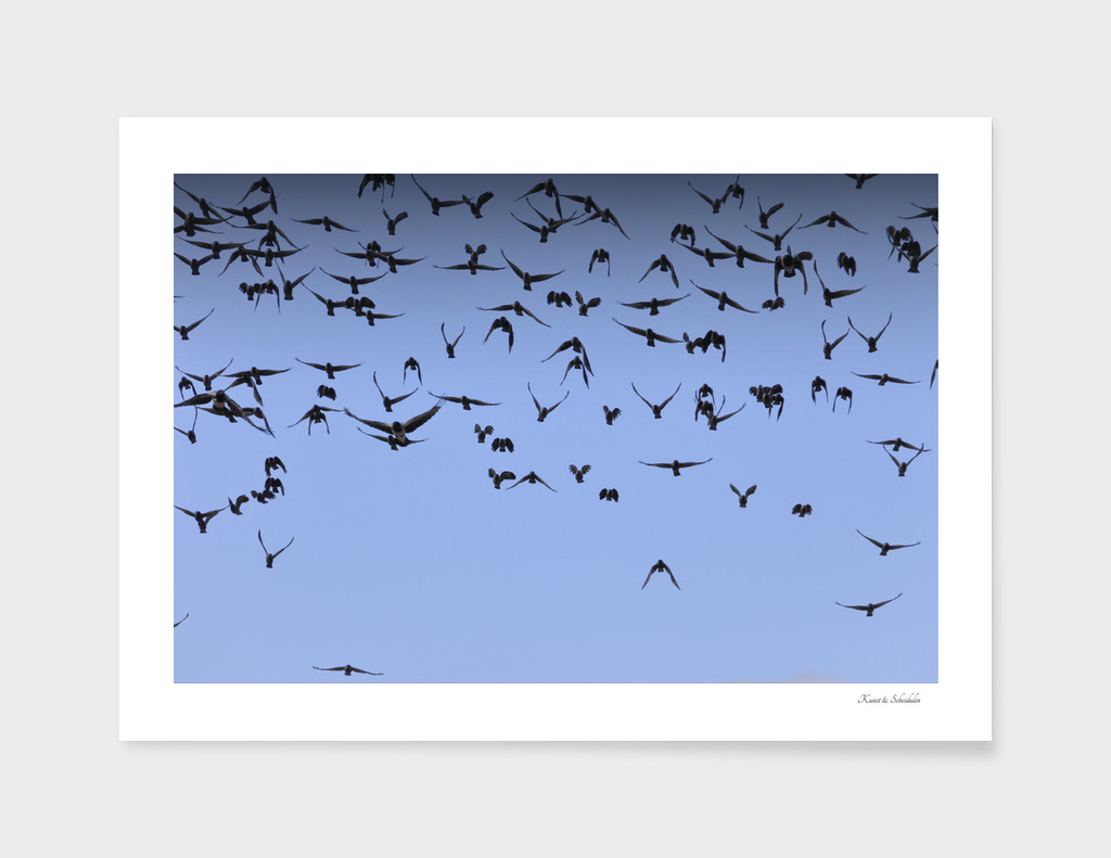 A flock of jackdaws approaching