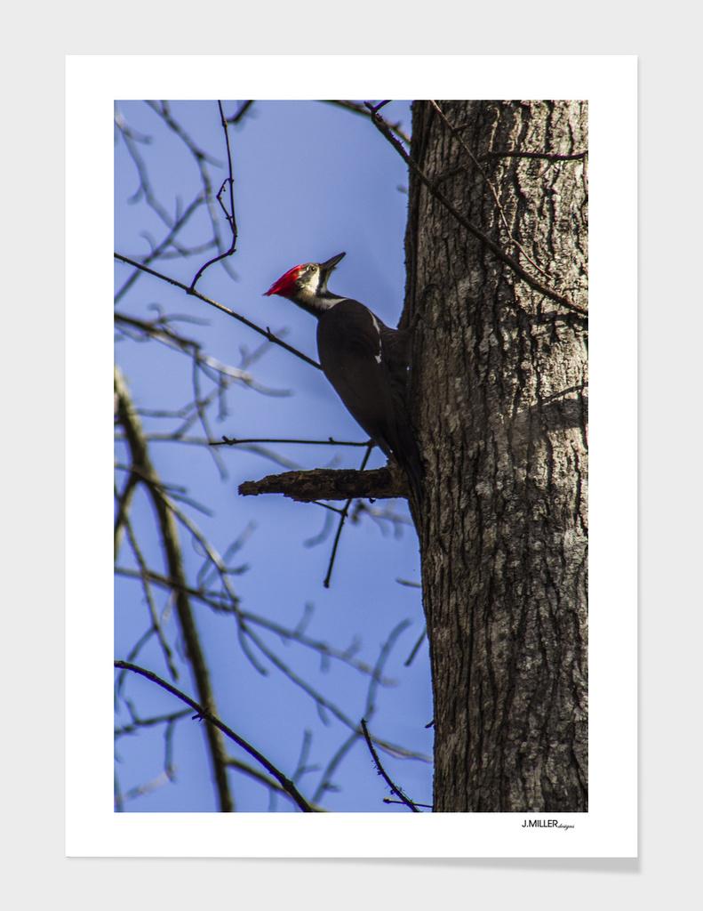 Red-headed Woodpecker in the Sunlight