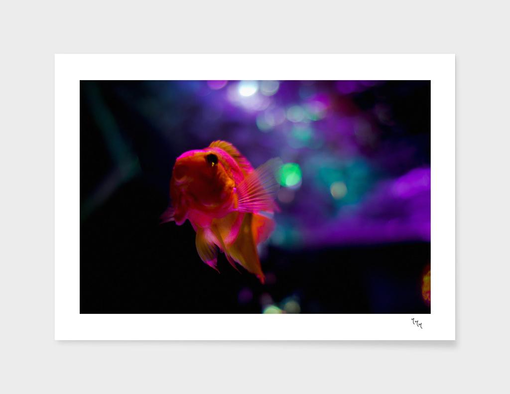goldfish 05