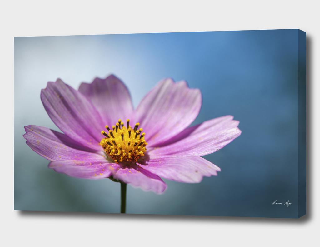Close-up on a daisy