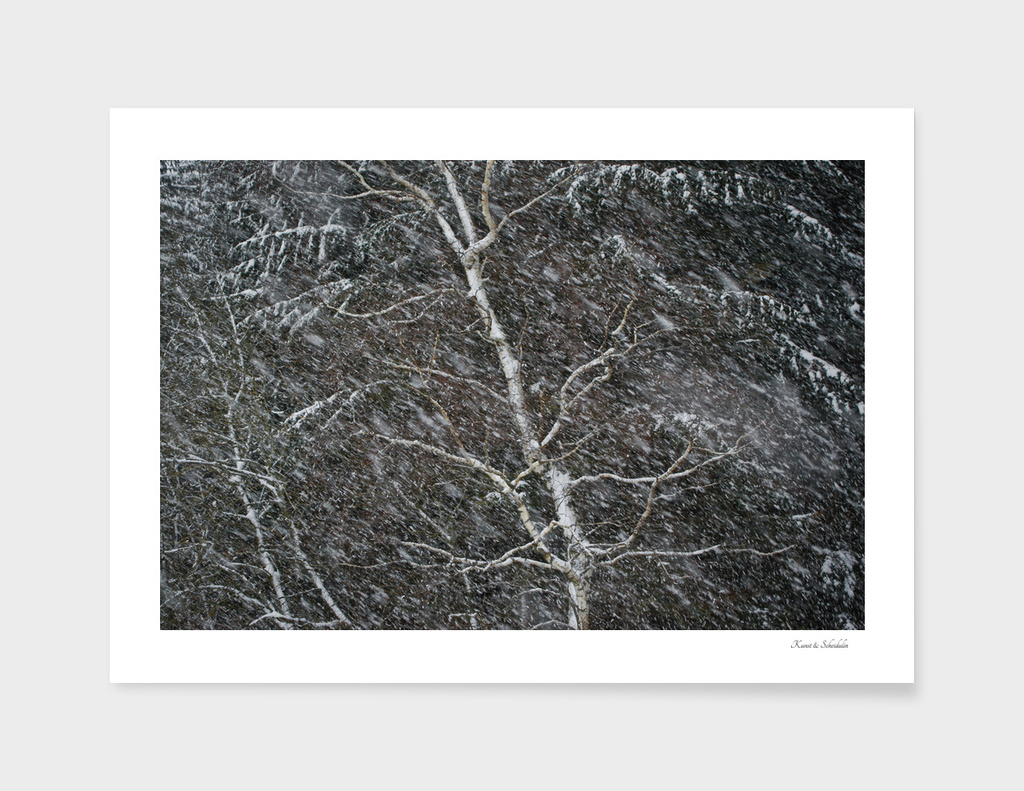 Birch tree shaking in a snow storm