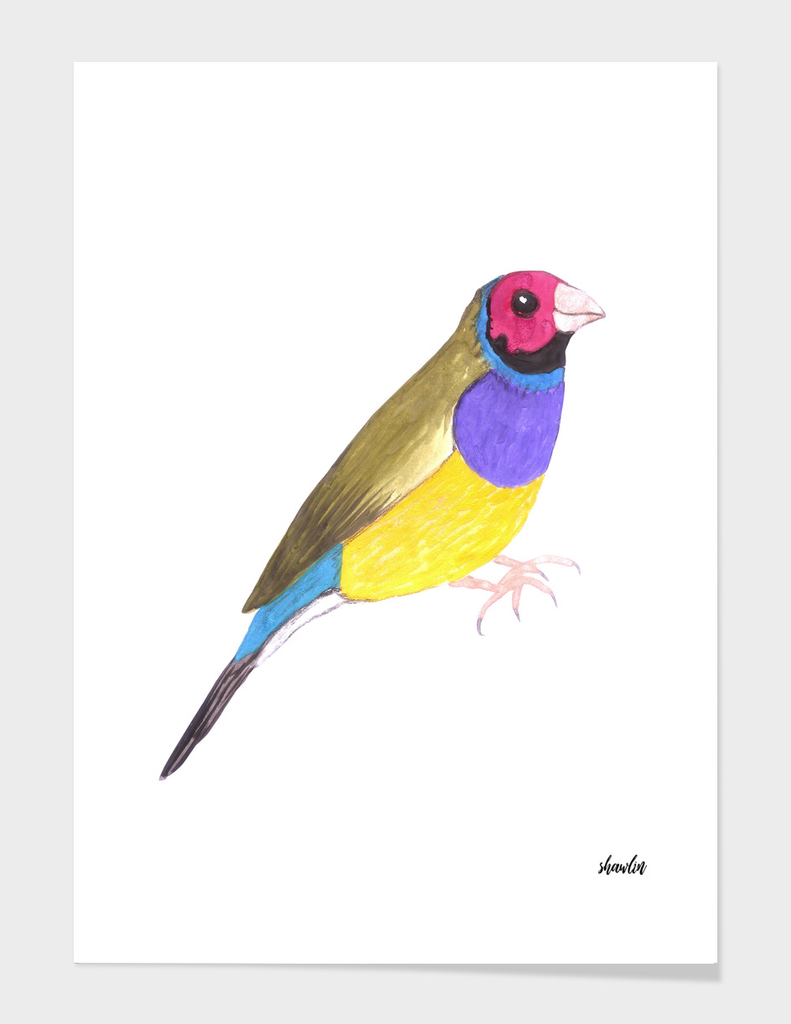 Red headed male Gouldian finch or Erythrura gouldiae