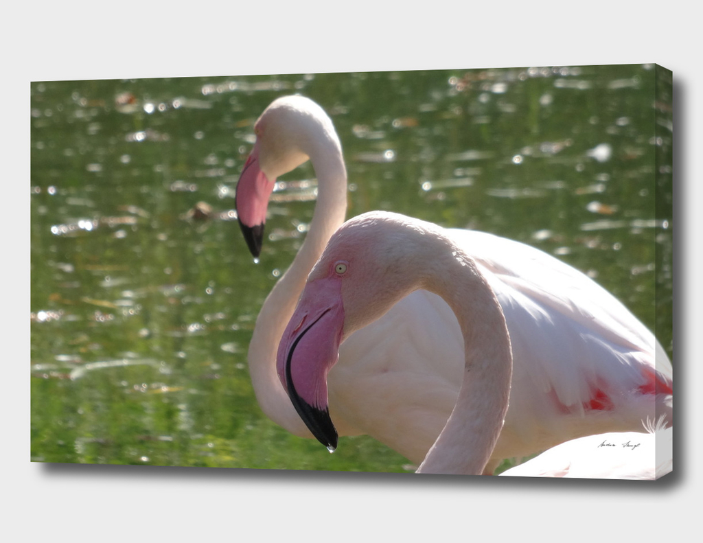 The Beauty of Flamingos