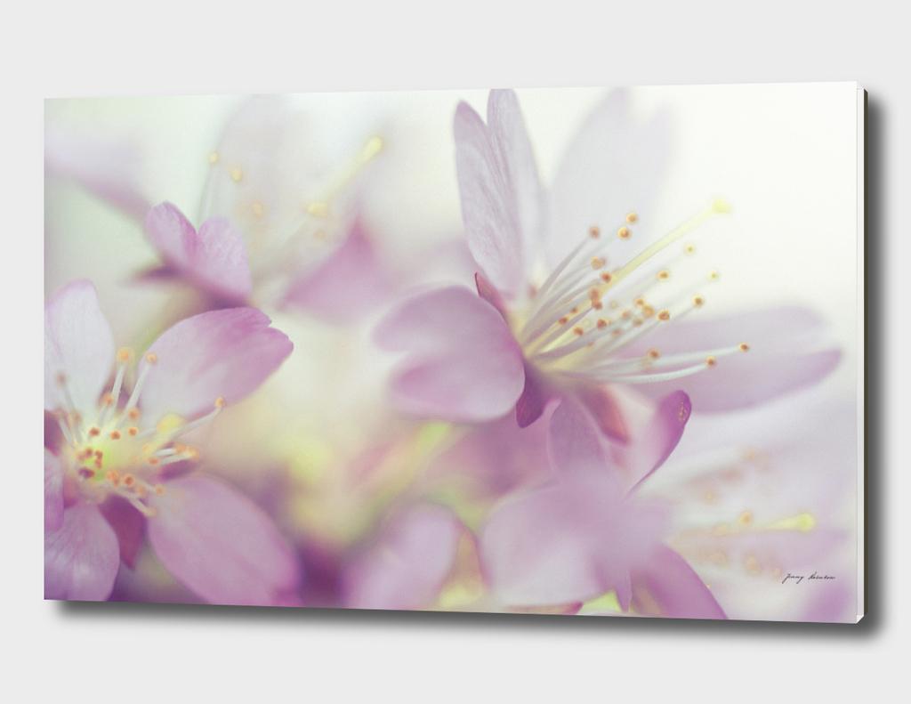 Soft Pastels of Sakura Blossom