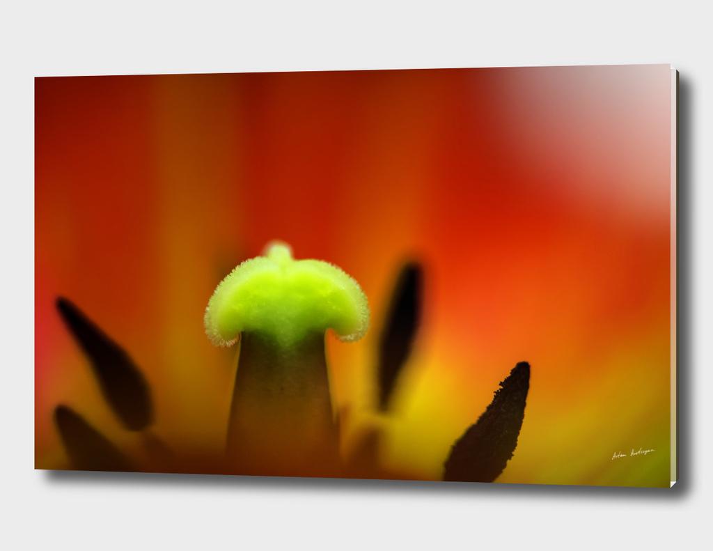 red tulip close-up