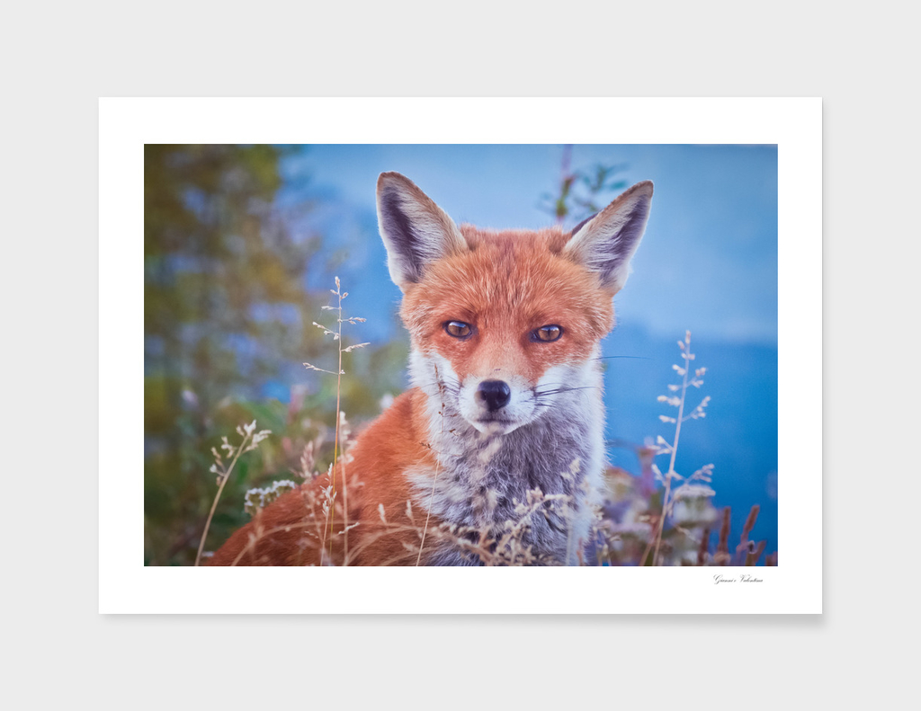 a friendly fox closeup